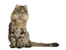 American Curl (8 months old). In front of a white background stock images