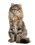 American Curl (8 months old). In front of a white background royalty free stock photos