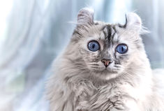 American Curl cat. With blue eyes royalty free stock photo