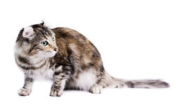 American curl cat. Portrait of a american curl cat on a white background. Studio shot stock photos