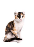 American curl cat. Portrait of a american curl cat on a white background. Studio shot stock photography