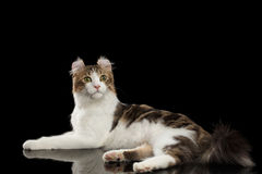 American Curl Cat Breed, Lying on Black Isolated background. American Curl Cat Breed with twisted Ears, Lying in front of Black Isolated background stock images