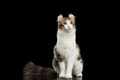 American Curl Cat Breed, Sitting on Black Isolated background. American Curl Cat Breed with twisted Ears, Sitting in front of Black Isolated background Stock Photography