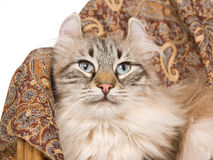 American Curl cat on brown cloth. Rare American Curl cat lying on brown cloth, on white background royalty free stock image