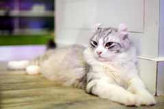 American Curl Cat. On floor Royalty Free Stock Images