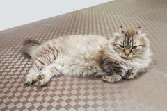 American Curl cat. On the floor Stock Photos