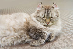American Curl cat. On the floor royalty free stock photos
