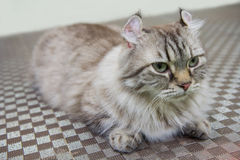 American Curl cat. On the floor Royalty Free Stock Image