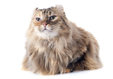 American curl cat. In front of white background stock photography