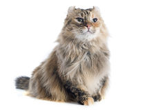 American curl cat. In front of white background stock images