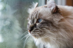 American Curl cat. Look at the window stock images
