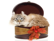 American Curl cat lying inside round gift box. Rare American Curl cat lying inside brown gift box, on white background royalty free stock photo