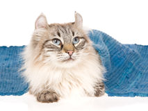 American Curl cat lying under blue rug. Rare American Curl cat lying under blue woven rug, on white background stock photography