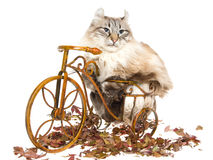American Curl cat on mini bicycle Royalty Free Stock Image