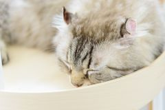 American Curl cat sleeping. In tray royalty free stock image