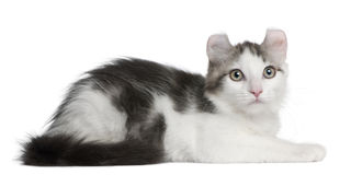 American Curl Kitten, 13 weeks old, lying. In front of white background royalty free stock photography