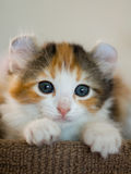 American Curl Kitten Stock Photography