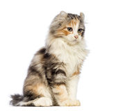 American Curl kitten, 3 months old, sitting and looking away. In front of white background royalty free stock images