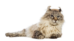American Curl lying and looking away Royalty Free Stock Image