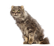 American Curl sitting and looking up Royalty Free Stock Photos
