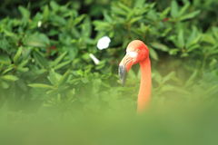 American flamingo Stock Photography