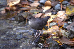 American Dipper Stock Photography