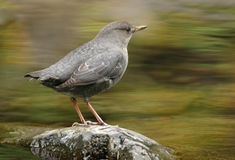 American Dipper. A dipper perched in the middle of a fast-flowing stream Stock Image