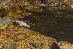 American Dipper. Adult American Dipper Foraging For Food In Fast Flowing Stream, Glacier National Park, Montana Stock Photography