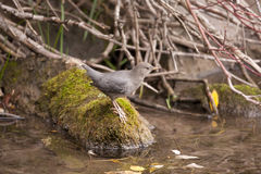 American Dipper. Royalty Free Stock Images