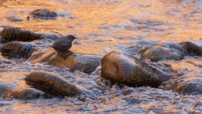 An American dipper bird stands on a rock in the river with water flowing over it`s feet while it hunts for aquatic insects to eat royalty free stock photos