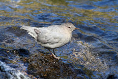 American Dipper (Cinclus mexicanus) Royalty Free Stock Photo