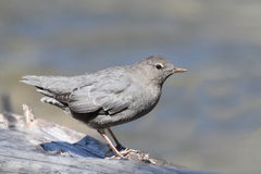 American Dipper (Cinclus mexicanus) Stock Photos