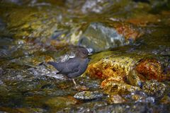 American Dipper: Cinclus mexicanus. An American dipper pauses while foraging for food in a fast running creek stock image