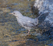 American Dipper Royalty Free Stock Photo
