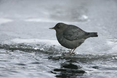 American dipper, Cinclus mexicanus Stock Photo
