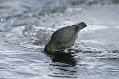 American dipper, Cinclus mexicanus Stock Photography