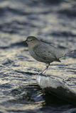 American dipper, Cinclus mexicanus Royalty Free Stock Image