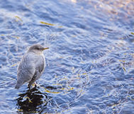 American dipper resting water reflection Stock Photos
