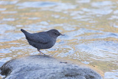 American Dipper. At river side royalty free stock photo