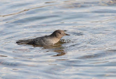 American Dipper splashes in water. Stock Photography