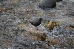 American Dipper standing in water. American Dipper standing on water covered rock. water ouzel Stock Images