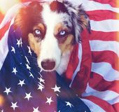 American Dog. Cute dog with blue eyes loves America royalty free stock photo