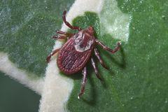 American Dog Tick. On A Leaf, Female, Dermacentor variabilis Stock Photography