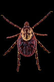 American Dog Tick. Dorsal view of an American Dog Tick aka Dog Tick or Wood Tick. Females can be identified by their large off-white scutum Royalty Free Stock Photography
