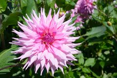 American Dream Dahlia Semi-cactus Pink bloom Royalty Free Stock Images