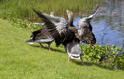 American duck family. Fighter royalty free stock images