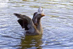 American duck family. In the water stock photos