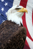 American Eagle. American bald eagle, with an American flag on the background Royalty Free Stock Photos