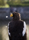 American Eagle. A photo of an American Eagle stock photo