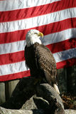 American Eagle. A photo of a bald eagle posing in front of an American flag royalty free stock photo